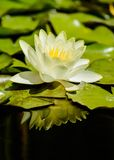 Beautiful white water lily flower Stock Photos