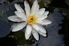 Beautiful white water lily flower full bloom in the lake Stock Photos