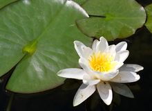 Beautiful white water lily flower with green leaves on a pond Stock Photo