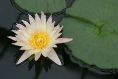 Beautiful white water lily flower and pad. A view of a beautiful white water lily flower and pad Royalty Free Stock Photography