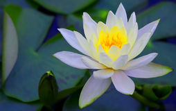 Beautiful white water lily in green pond Stock Photos