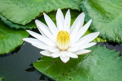 Free Beautiful White Water Lily In The Garden Pond Royalty Free Stock Photo - 160339295