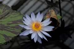 A beautiful white water lily and pad. A beautiful water lily and pad with a reflection of the glass roof above Royalty Free Stock Photography