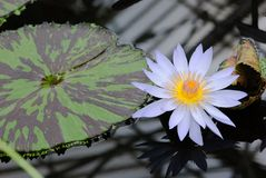 A beautiful white water lily and pad. A beautiful water lily and pad with a reflection of the glass roof above Royalty Free Stock Photo