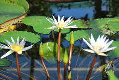 Beautiful white water lily Royalty Free Stock Images