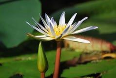 Beautiful white water lily Stock Photo