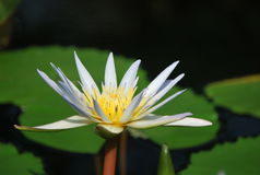 Beautiful white water lily Royalty Free Stock Photos