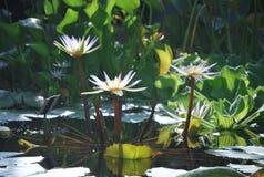Beautiful white water lily Royalty Free Stock Photo