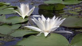 Beautiful white water lily and tropical climates. White water lily. White water lily in a pond. Lotus flower. Water lily background. Water lilies video footage stock footage