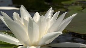 Beautiful white water lily and tropical climates. White water lily. White water lily in a pond. Lotus flower. Water lily background. Water lilies video footage stock video