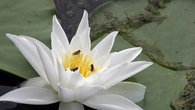 Beautiful white water lily and tropical climates. White water lily. stock video footage