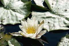 Beautiful white waterlili. Beautiful white lotus lily flower on lake Stock Photos