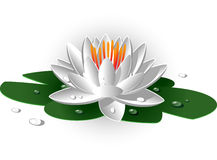 Beautiful white waterlily Stock Image