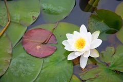 Beautiful white waterlily. In a pond Royalty Free Stock Photography