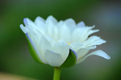 A beautiful white waterlily or lotus flower Royalty Free Stock Photo