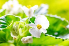 Beautiful White Wax Begonia Semperflorens. A closes up shot of some beautiful white begonia semperflorens flowers Royalty Free Stock Images