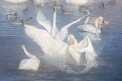 Beautiful white whooping swans Stock Photo