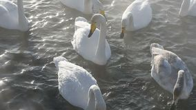 Beautiful white whooping swans stock video footage