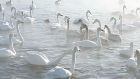 Beautiful white whooping swans stock video