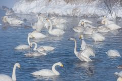 Beautiful white whooping swans Stock Images