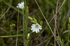 Beautiful white wild flowers  or Chickweed flowers in the wood close up Stock Images