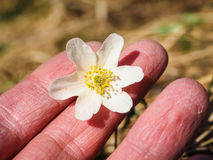 Beautiful white windflower between caucasian human fingers. At springtime Stock Photography