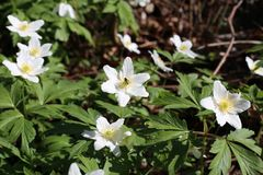 Beautiful white windflowers Anemone nemorosa photographed in Finland royalty free stock photos