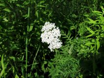 Yarrow Stock Image