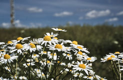 Beautiful, white and yellow camomile flowers Royalty Free Stock Image