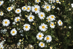 Beautiful, white and yellow camomile flowers Stock Images