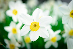 Beautiful White and yellow daffodils. Yellow and white narcissus Royalty Free Stock Image