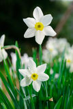 Beautiful White and yellow daffodils. Yellow and white narcissus Stock Photography