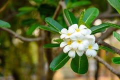 Beautiful White and yellow Frangipani flowers. Apocynaceae Family Royalty Free Stock Photos