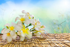 Beautiful white and yellow frangipani flowers on bamboo textured Royalty Free Stock Image