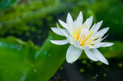 Beautiful white yellow lotus Stock Photo