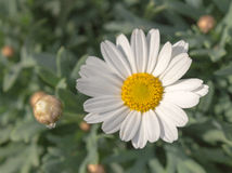 Beautiful white and yellow marguarite flower in the garden. Stock Photography