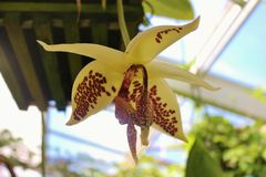 Beautiful white-yellow orchid with red spots. Stock Images