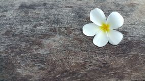 Beautiful white yellow plumeria flower on wooden table Stock Images