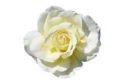 Beautiful white-yellow rose. Isolated on white background Royalty Free Stock Photo