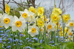 White and yellow spring daffodils Stock Image