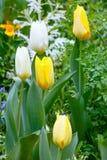Beautiful white and yellow tulips (close-up). Stock Image