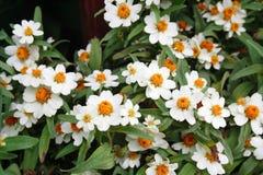 The beautiful white zinnias Royalty Free Stock Photo