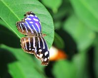 Beautiful Whitened Bluewing Butterfly Royalty Free Stock Photography