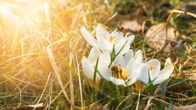 Beautiful crocuses flower growing on the dry grass, the first sign of spring. Seasonal easter sunny natural background. Stock Image