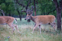 Beautiful whitetail searching for food Stock Photo