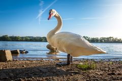 Beautiful whooper swan Cygnus cygnus on the river shore danube royalty free stock images