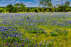 A Beautiful Wide Angle View of a Texas Field Blanketed with the Famous Texas Bluebonnets. Stock Photo