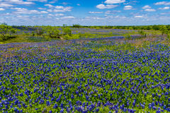 A Beautiful Wide Angle View of a Thick Blanket of Texas Bluebonnets in a Texas Country Meadow with Blue Skies. Royalty Free Stock Photography