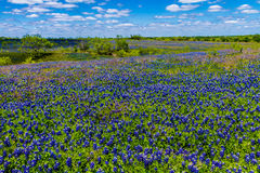A Beautiful Wide Angle View of a Thick Blanket of Texas Bluebonnets in a Texas Country Meadow with Blue Skies. Stock Photos