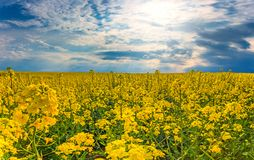 Beautiful wide landscape of yellow rape field royalty free stock images